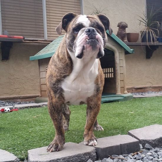 Check out this beauty for adoption :-) so cal residents only Adoptadog Adoption Foradoption Oldeenglishbulldogges oldeenglishbulldogge oldenglishbulldogs victorianbulldogs oeb bulldogs bulldog englishbulldog