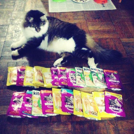 My Siberian friend feels like a boss Cat Siberian Food Kitekat