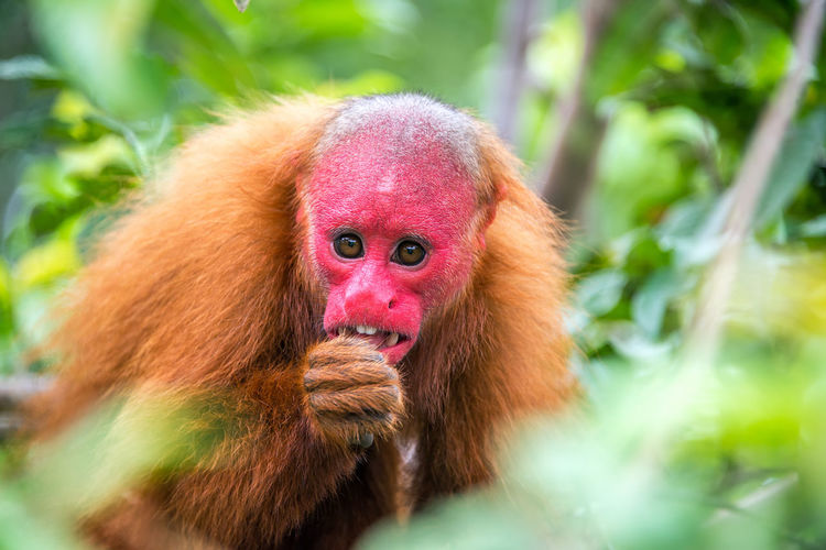 View of a Bald Uakari monkey in trees in the Amazon Rainforest near Iquitos, Peru Amazon America Animal Bald Brazil City Color Day Ecuador Endangered  Forest Iquitos  Jungle Mammal Monkey Outdoors Peru Primate Rain Rainforest Rare Red South Uakari Wildlife