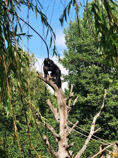 Chimpanzee Animals In Captivity Zoo Monkey Plant Tree Low Angle View Growth Green Color Nature No People Animal