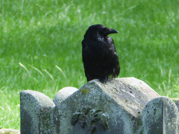 Ravenportrait Raven - Bird Animal Themes Close-up Animals In The Wild Summertime 🌞 Beauty In Nature ForTheLoveOfPhotography Nature Eye4photography  For The Love To Life Beauty At My Door Thankful🦄 Beauty On My Doorstep For My Friends 😍😘🎁 My Soul's Language Is📷 Simple Beauty Crowlovers Sommergefühle