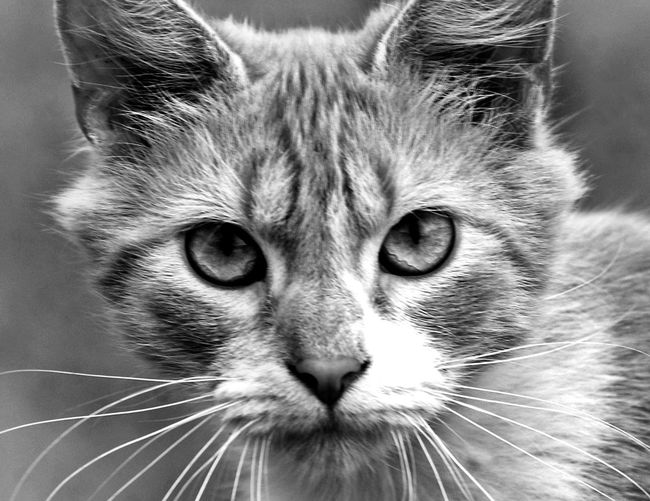 Blackandwhite Domestic Cat Feline Pets Animal Themes Looking At Camera