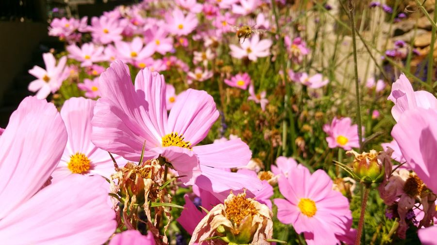 Bees Bees And Flowers Beesofeyeem InFlightPhoto Fragility Flower Freshness Petal Beauty In Nature Flower Head Growth Springtime Close-up In Bloom Nature Stamen Blossom Purple Botany Selective Focus Daisy Pink Color Bloom Pollen