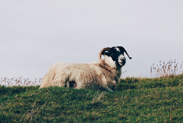 Ram in the United Kingdom Grazing Scotland United Kingdom Animal Animal Themes Domestic Domestic Animals Field Grass Livestock Mammal Sheep