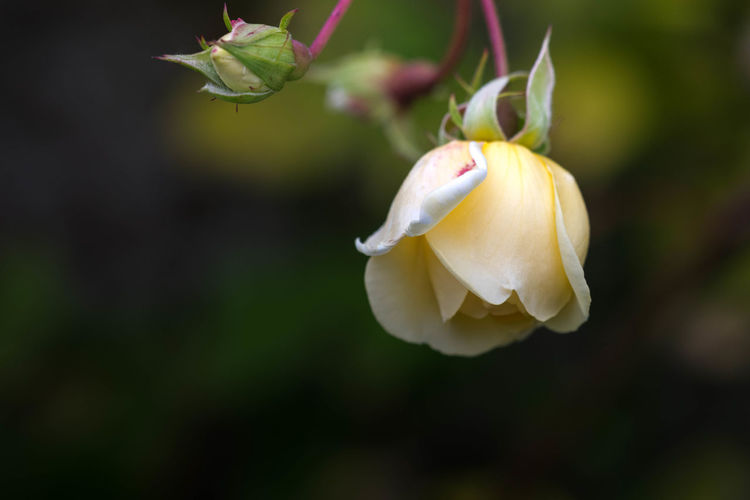 Beautiful yellow rose close-up with warm blurred background. Beauty In Nature Blooming Blurred Background Close-up Day Flower Flower Head Focus On Foreground Fragility Freshness Growth Nature No People Outdoors Petal Plant Snowdrop Yellow Rose