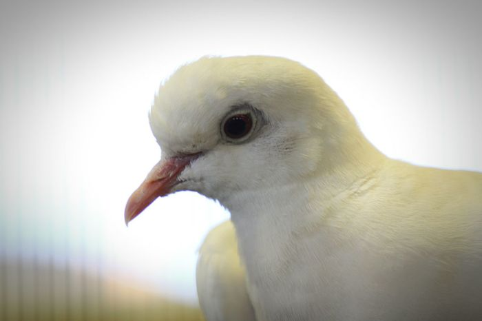 Paloma Dove Dove Of Peace Doves Birds Bird Photography Close Up IShootFromMyWheelchair Wildlife Wildlife Photography Nature Photography Animal Photography Pet Photography  Family Pets Pets EyeEm Outdoors Eyeem Market EyeEm Best Shots White Background White Dove Close-up
