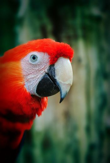 Bird One Animal Animal Themes Close-up Animals In The Wild Wildlife Focus On Foreground Red Parrot Animal Head  Zoology Nature Vibrant Color No People Outdoors Beauty In Nature Non-urban Scene Beauty In Nature Animal Head  Nature Day Beak Macaw Animal Head  Animal Wildlife Scarlet Macaw Tropical Climate Tropical Rainforest HEAD Tropical Bird
