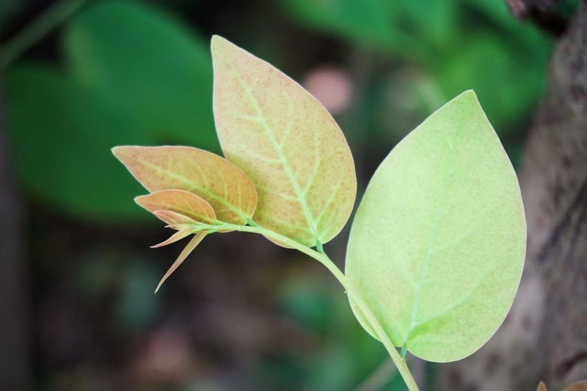 Freshness Green Herb Natural Nature Phyllanthus Acidus Tree Beauty In Nature Branch Close-up Closeup Day Evergreen Focus On Foreground Foliage Fragility Fresh Freshness Green Color Growth Leaf Leaves Limb Nature No People Outdoors Plant Star Gooseberry