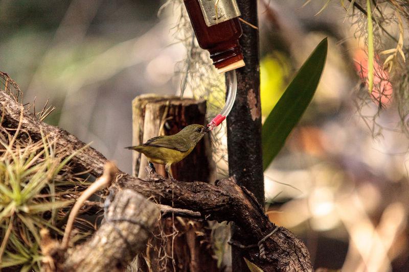 Golden collared manakin known as Manacus vitellinus in a tree Animal Themes Animal Wildlife Avian Bird Birds Close-up Day Gold Golden Collared Golden Collared Manakin Manacus Vitellinus Manakin No People Outdoors Perching Wildbird Yellow