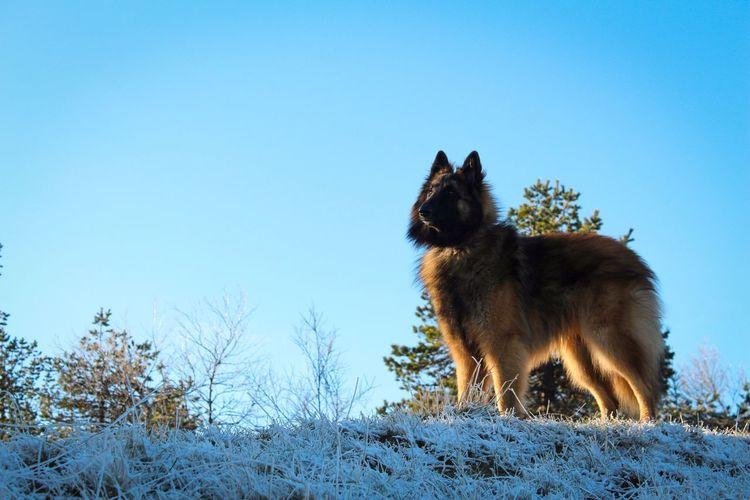 EyeEm Ready   Winter Animal Themes Cold Temperature One Animal Dog Pets Outdoors Nature Landscape Beauty In Nature Belgian Shepherd Tervueren Finland Sky Lapland Go Higher The Traveler - 2018 EyeEm Awards