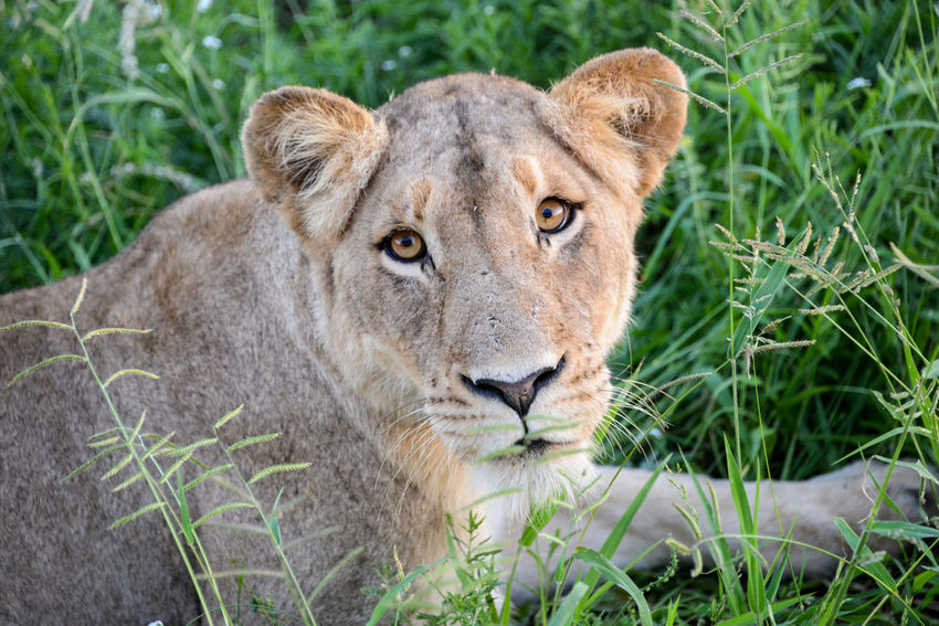 Safari in Hlane Royal National Park in Swaziland. Hlane Hlane Royal National Park Lion National Park Swaziland  Wildlife & Nature Animal Animal Themes Animal Wildlife Animals In The Wild Close-up Grass Lion - Feline Lioness Looking At Camera Nature Outdoors Safari Safari Animals