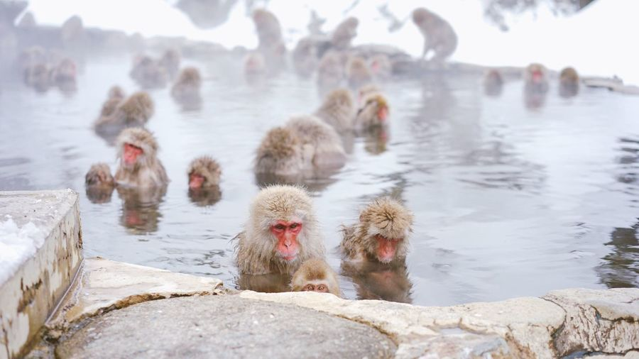 High Angle View Of Snow Monkeys In Hot Spring