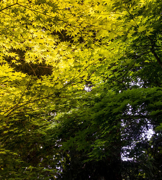 Leaves in Japan Abstract Beauty In Nature Botany Color Palette Colour Of Life Day Green Green Green Color Growing Japan Leaves Light Light And Shadow Lush Foliage Nature Nature Pivotal Ideas Plant Shades Shades Of Green  Sun Sunlight Tranquil Scene