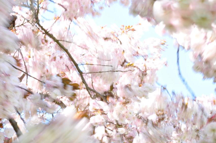 Cherry Blossoms Motion Blur Wind Blown Blossom Branch Cherry Tree Freshness Moved By Wind Prunus Serrulata Shirofugen Sakura Blossom Springtime Wind