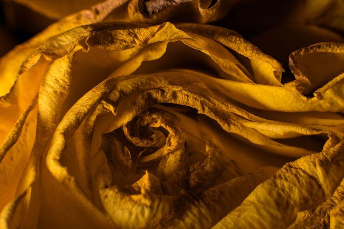 Rosé Rose - Flower Golden Flower Flowers Flower Head Plant Flowers,Plants & Garden Floral Close-up Close Up Closeup Macro Macrophotography Macro_collection Macro Beauty Macro_flower Macro