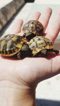 turtles #palm #Turtles #turtle #Tiny Human Hand Reptile Sea Life Tortoise Shell Tortoise Close-up