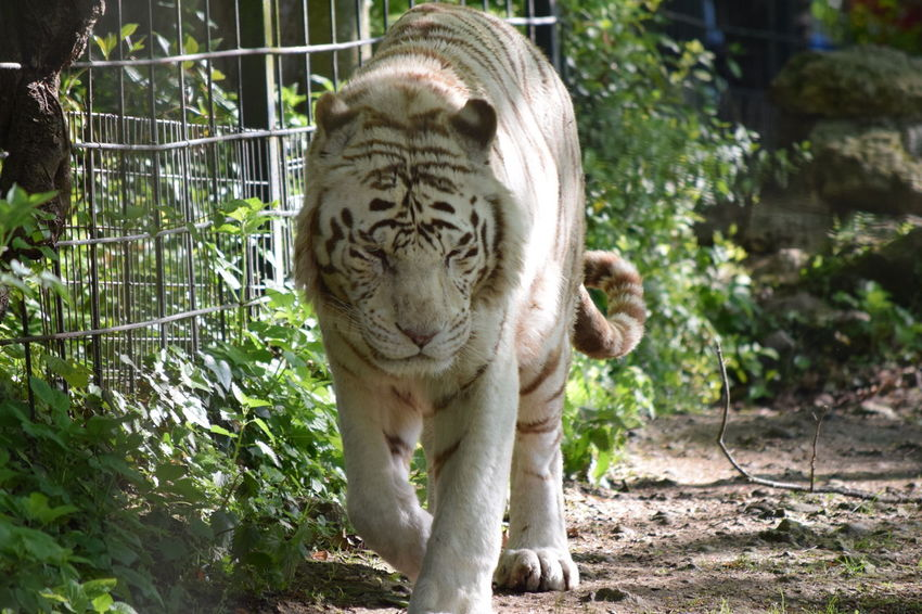 White Tiger Animal Themes Animal Wildlife Animals In The Wild Beauval Day Feline Mammal Nature No People One Animal Outdoors Tiger White White Tiger White Tiger Zoo Zoo