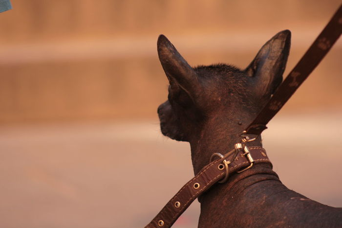 Mexican Hairless Dog xoloitzcuintle Mexican Hairless Dog Animal Themes Brown Close-up Day Domestic Animals Focus On Foreground Mammal Nature No People One Animal Outdoors Xoloitzcuintle