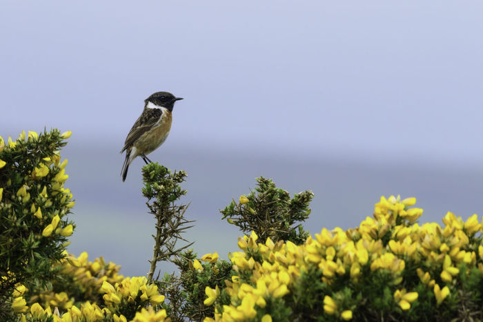 Stonechat perched on a gorse bush, Cunnigar Strand, County Waterford Cunnigar Strand Dungarvan Gorse Ireland Paint The Town Yellow Wildlife & Nature Beauty In Nature Bird Birds Coast Coastal Landscape County Waterford Perching Stonechat