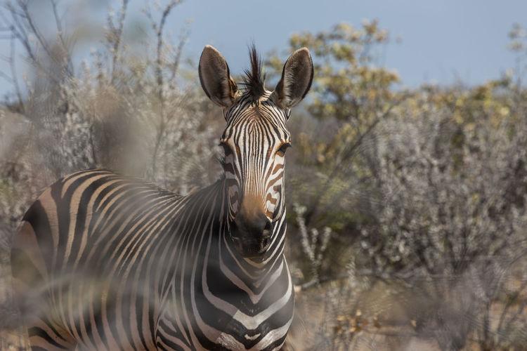 Animal Animal Wildlife Etosha National Park Mammal Namibia Nature Outdoors Zebra