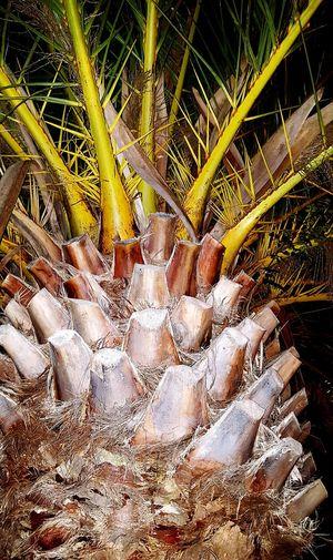Palmier  Arbre Nature