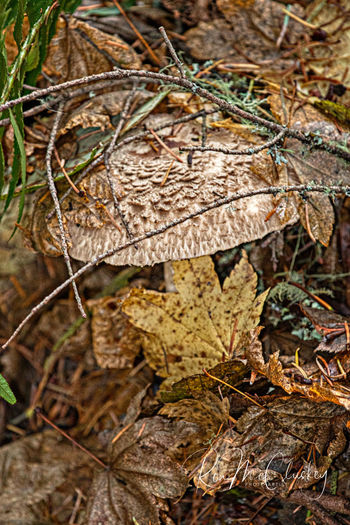 Mushroom Northwest Trek Plant Fungus Vegetable Nature Growth Close-up Food No People Land Tree Day Dry Leaf Plant Part Forest Outdoors Beauty In Nature Selective Focus Focus On Foreground Toadstool