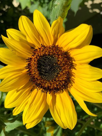 Sunflower IPhone X IPhone X Photography Yellow Flower Head Flowering Plant Flower Petal Inflorescence Growth Freshness Fragility Vulnerability  Pollen Beauty In Nature Plant No People Insect Close-up Sunflower Nature Botany Outdoors