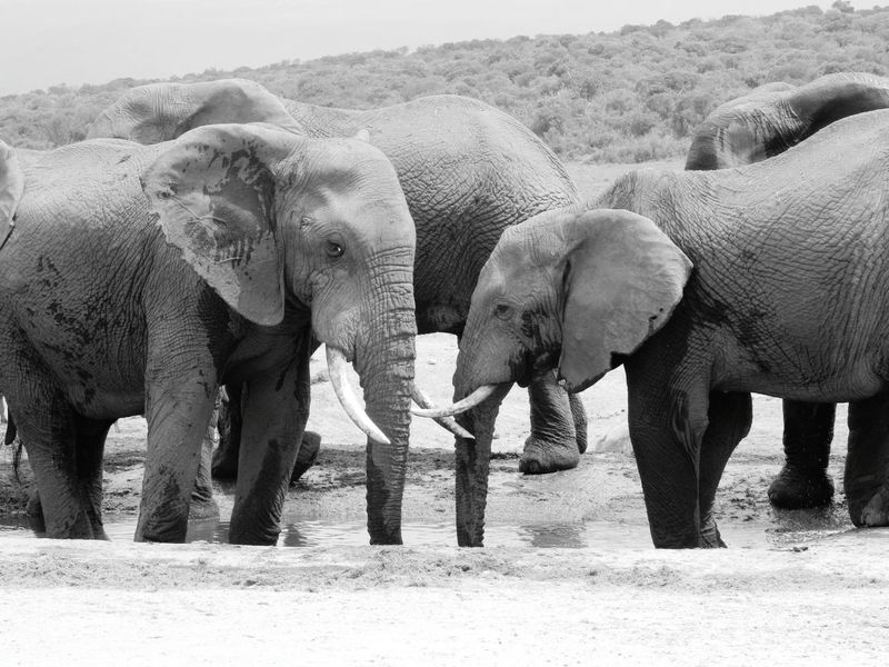Black And White Photography Elephant Animal Trunk Mammal Big Five Animals Nature African Elephant Watering Hole Nature Photography Addoelephantpark South Africa Elephant Calf Addo