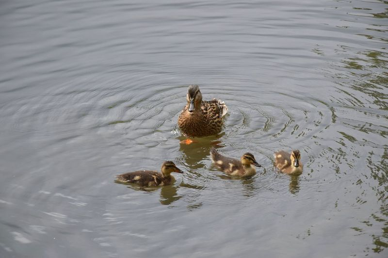 Animal Animal Family Animal Themes Animals In The Wild Bird Duck Duck Family Lake Nature No People Non-urban Scene Swimming Togetherness Water Water Bird Water Surface Wild Ducks And Puppies Wild Ducks In The Water Wildlife Young Animal Zoology