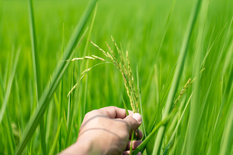 Hand of wheat growing on field