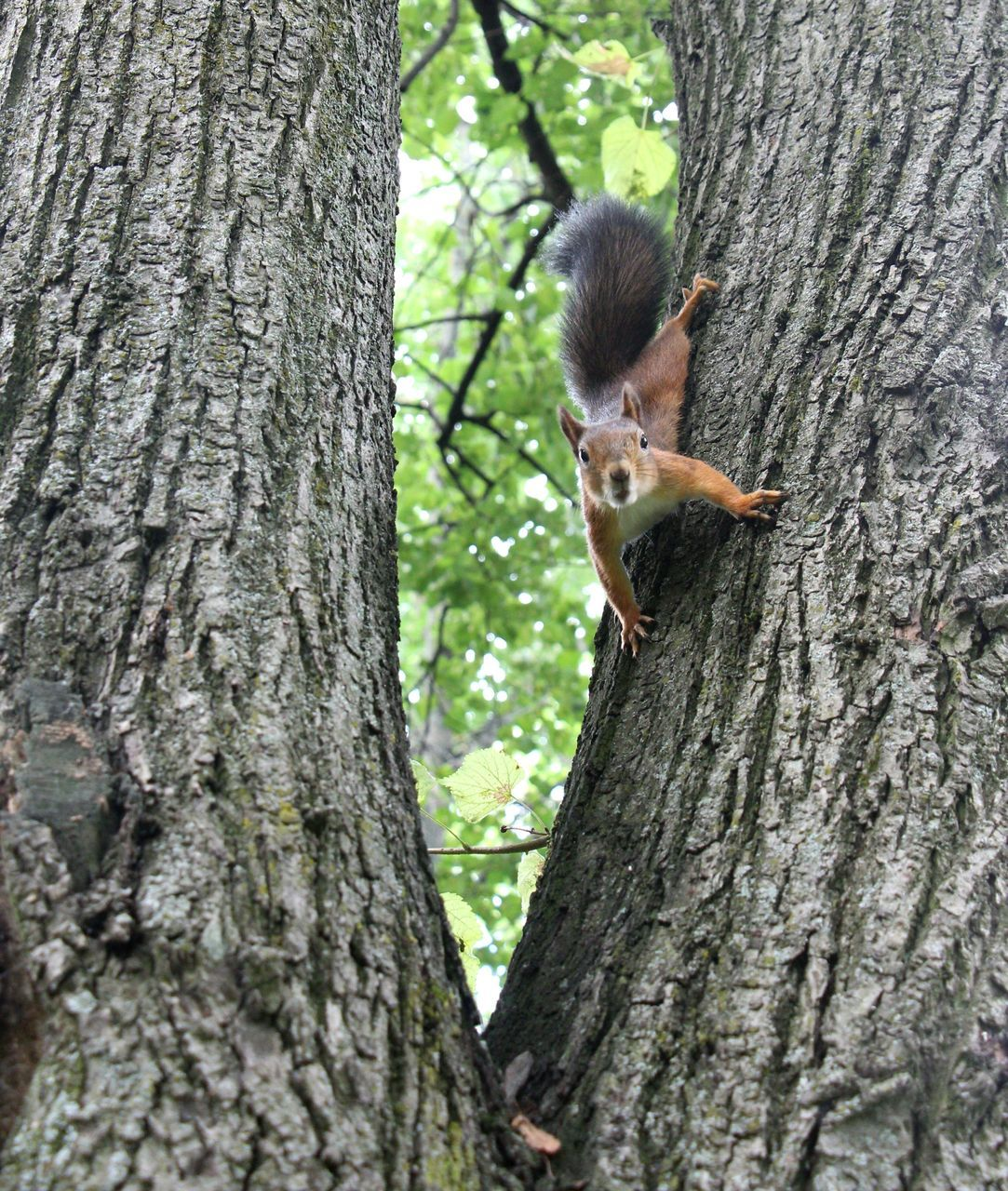 tree trunk, tree, one animal, animal themes, squirrel, day, outdoors, mammal, animals in the wild, no people, woodpecker, nature, animal wildlife, growth, bat - animal, close-up, raccoon