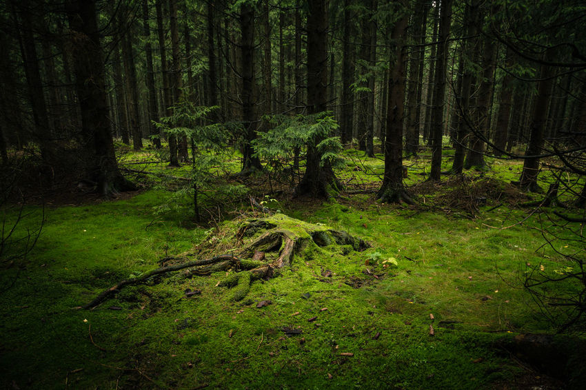 Beauty In Nature Day Environment Forest Grass Green Color Growth Harz Harz Bilder Harzmountains Land Landscape Nature No People Ominous Outdoors Plant Scenics - Nature Tranquil Scene Tranquility Tree Tree Trunk Trunk WoodLand
