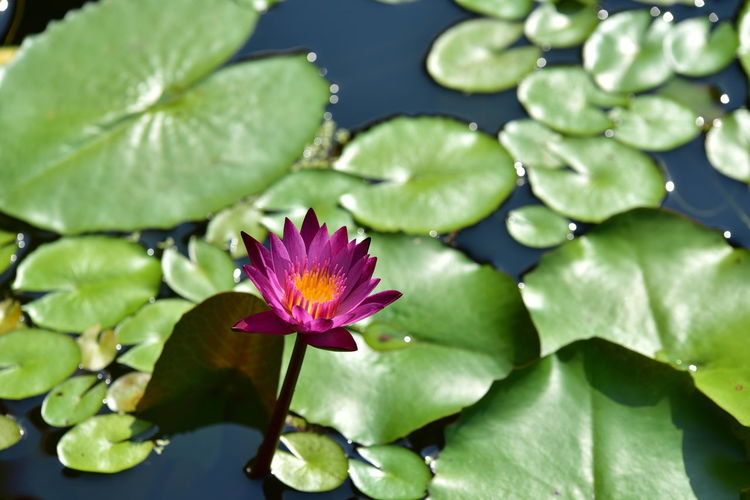 Purple Outdoors Lotus Water Lily No People Pink Color Flower Head Floating On Water Nature Green Color Inflorescence Pond Water Fragility Petal Close-up Water Lily Vulnerability  Freshness Growth Plant Part Beauty In Nature Leaf Plant Flowering Plant Flower