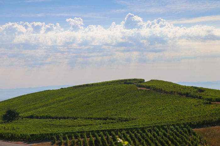 Vineyard, sky and clouds Alsace Agriculture Beauty In Nature Cloud - Sky Crop  Day Environment Farm Field Green Color Growth Land Landscape Nature No People Outdoors Plant Plantation Rural Scene Scenics - Nature Sky Tranquil Scene Tranquility Vineyard Winemaking