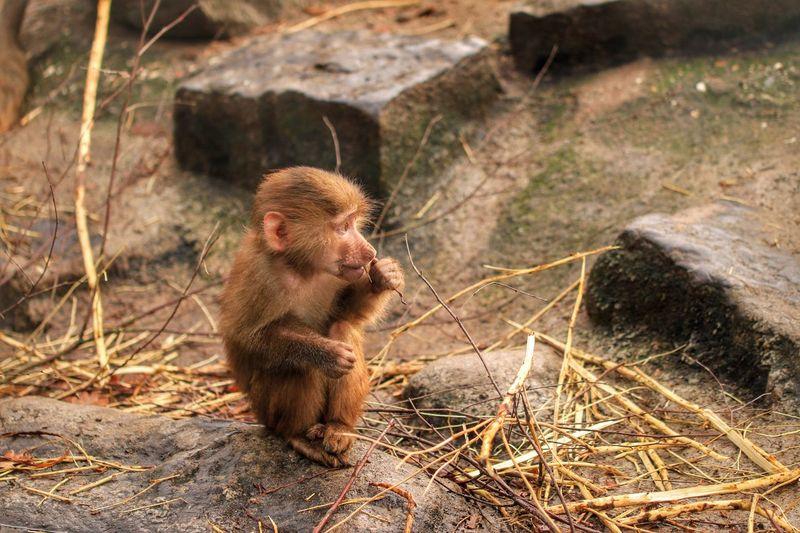 Animal Monkey Baboon Baboon Baby Baboon Portrait Alone Zoo Animals