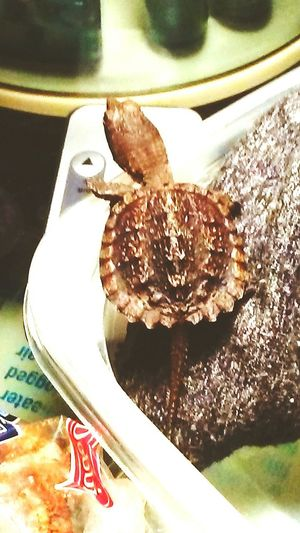 Duckie looking over his way out! No People Indoors  Freshness Close-up baby turtle. Making An Exit. High Angle View Indoors  Reptile Nature Animal Themes One Animal