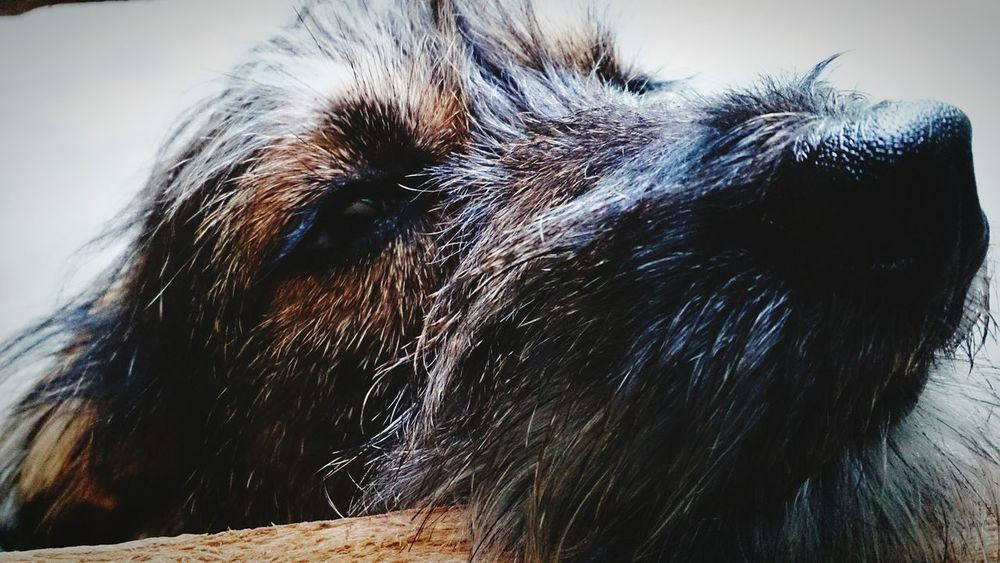 Sonolento Sleeping Dog Zzz Taking Photos Nose Pet Lover Pets Corner Cute Pets Dogstagram Pets Eyes Big Nose Lovely EyeEm Animal Lover
