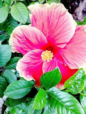 Hibiscus 🌺 Bunga Raya @my home yard