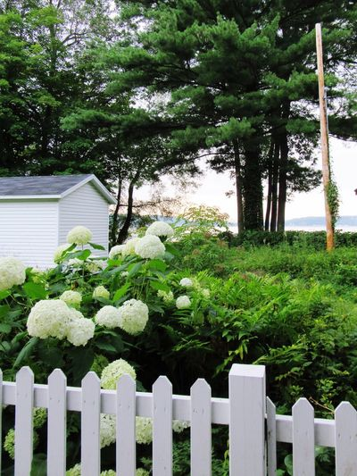 No People Hydrangea Tree Outdoors Green Color Day Grass Nature Sky Tranquil Scene Nature White Fence Garden Garden Flower Garden Fence With Flowers Blue Sky EyeEm Best Shots