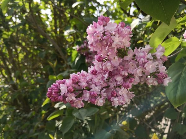Nofilter Fleurs Jardin Garden Huaweimate10pro Mate10pro France Flower Head Flower Tree Pink Color Springtime Branch Petal Blossom Close-up Plant