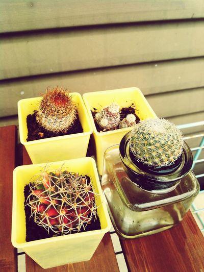 基本放置の100均のサボテン。刺々しい。 Http// Www.eyeem.com/a/10359833 cactus:仙人掌/覇王樹 my home 100 uniformity a basis let a lone