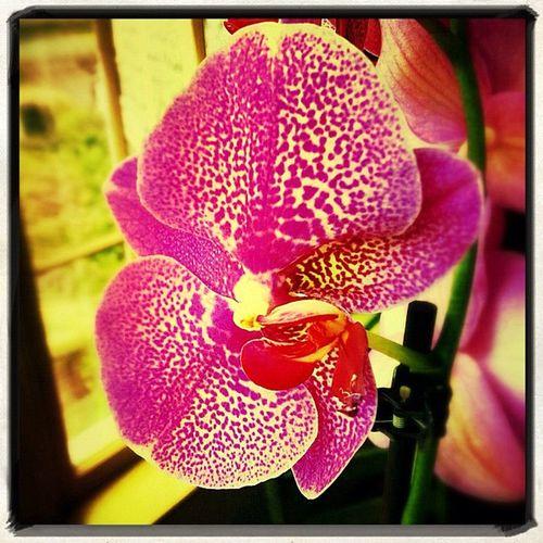 #pink#orchid#orchidporn#flowers#flower#colors#saturatedcolors#vibrant#joyous#windows Flower Windows Colors Pink Orchid Joyous Vibrant 17likes Saturatedcolors Orchidporn Flowers
