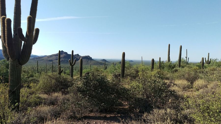 Arizona Arid Climate Beauty In Nature Cactus Clear Sky Day Growth Landscape Mountain Nature No People Non-urban Scene Outdoors Plant Saguaro Cactus Scenics Sky Tranquil Scene Tranquility Tree Wilderness Area