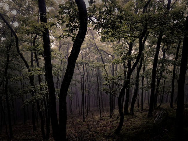 Tree Trees Beauty In Nature Claudetheen Fog Foggy Day Forest Landscape Nature Outdoors Vintage