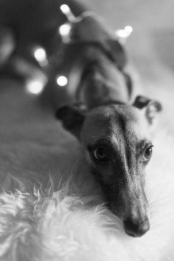 Animal Themes Blackandwhite Christmas Close-up Day Dog Domestic Animals Indoors  Mammal No People One Animal Pets Portrait Whippet