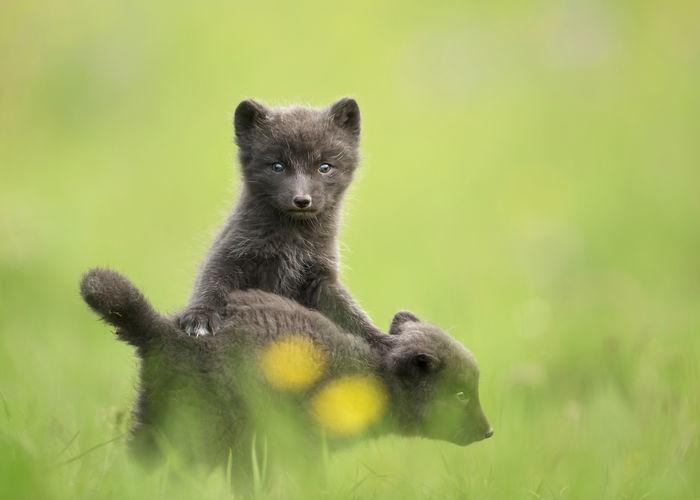 Arctic fox pups on grass