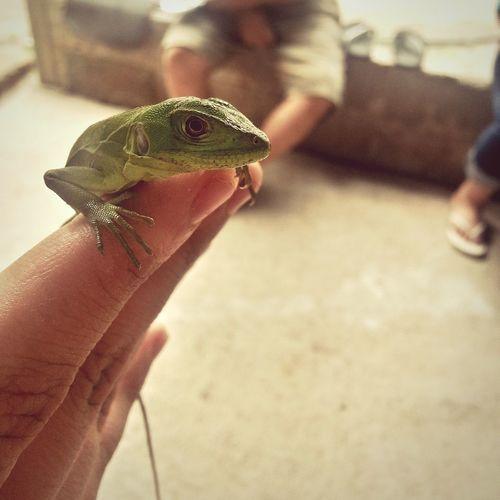 My Little Friend My Pet Iguana Mexico Out Enjoying Life