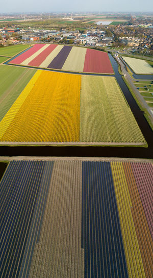 Hyacinth Narcissus Field Cultivated Land Agriculture Architecture High Angle View Landscape Day No People Nature Pattern Land Outdoors Rural Scene Yellow Environment Flowers Panorama Panoramic View From Above