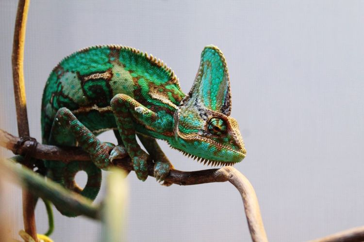 Reptile Animals In The Wild Animal Wildlife Animal Themes Lizard One Animal Chameleon No People Day Green Color Nature Close-up Outdoors Iguana Pet Portraits