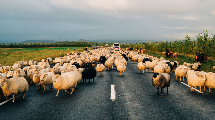 Flock of sheep on the road